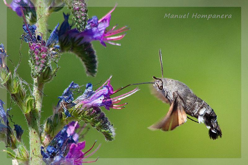 Esfinge colibrí (Macroglossum stellatarum) 3