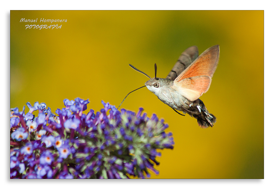 Esfinge colibrí (Macroglossum stellatarum) 4