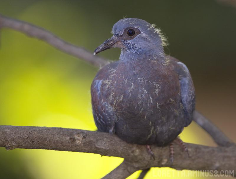 Baby Rock Pigeon