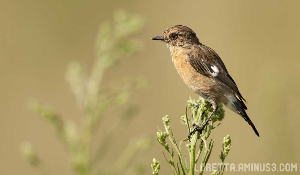 ...and the wife (African Stonechat female)