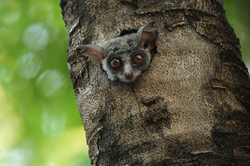 Bushbaby