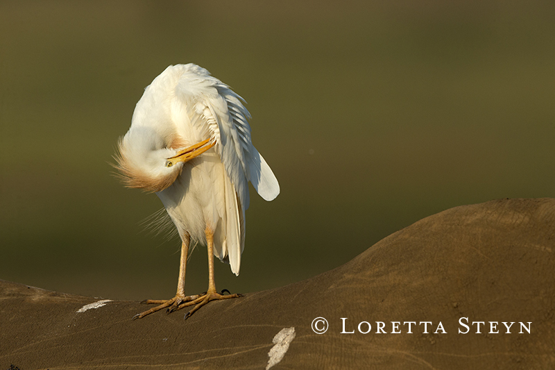 Cattle Egret on a Rhino