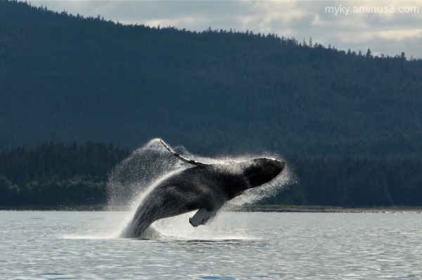 Alaska...Whale Watching - 5
