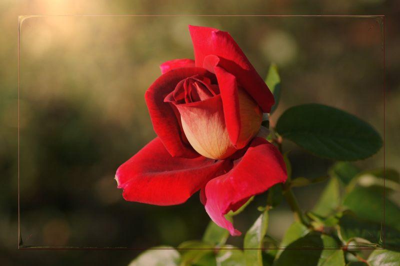 "Dernière rose ""Kronenbourg"""