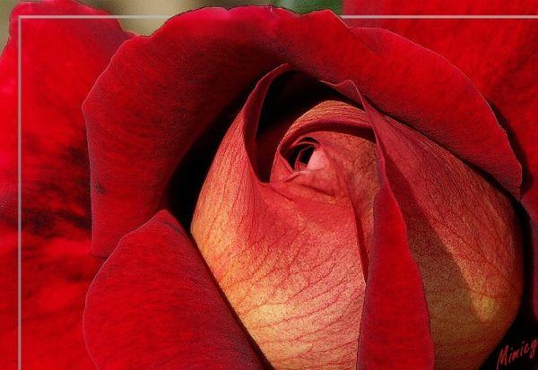Bouton de rose - Kronembourg