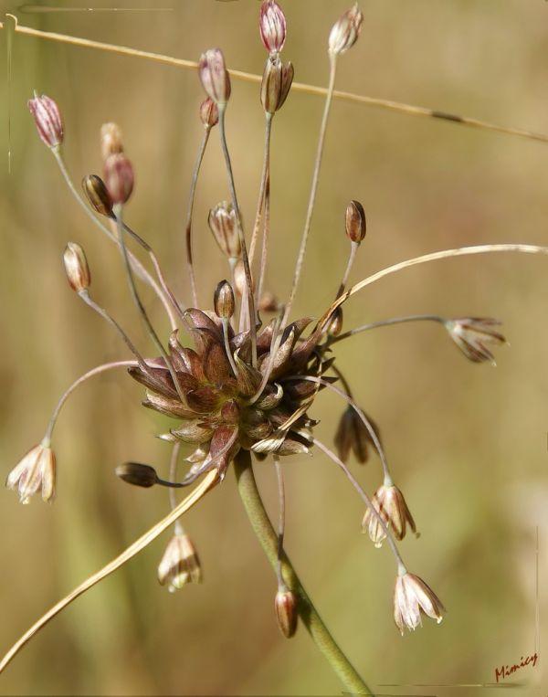 Fleur sauvage - ail des vignes