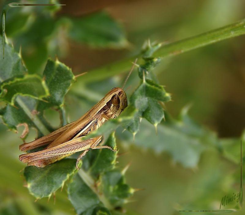nature sauvage faune criquet