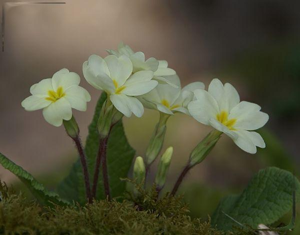 flower fleur nature sauvage primevere