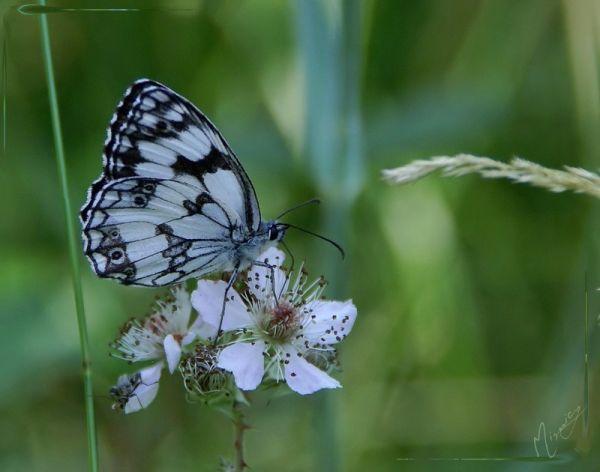 Nature papillon demi deuil