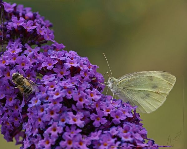 Nature sauvage papillon citron