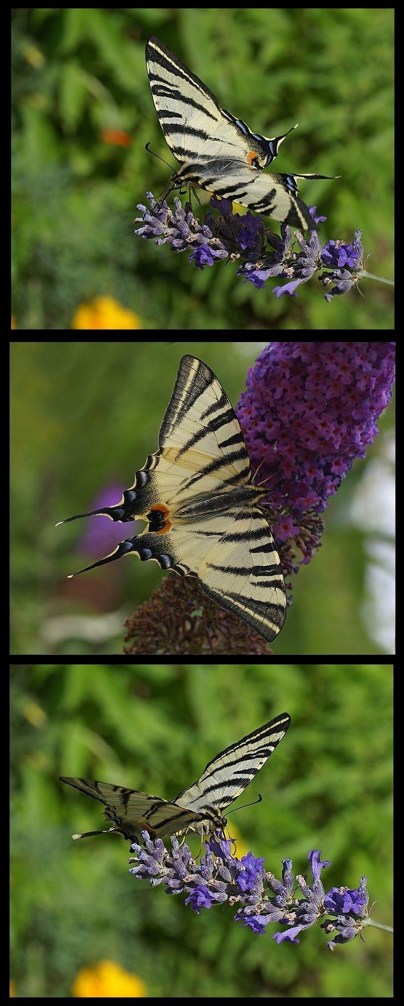 nature sauvage papillon - le flambé