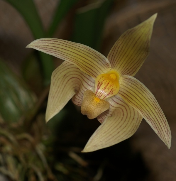 flower fleur orchidee - bulbophyllum