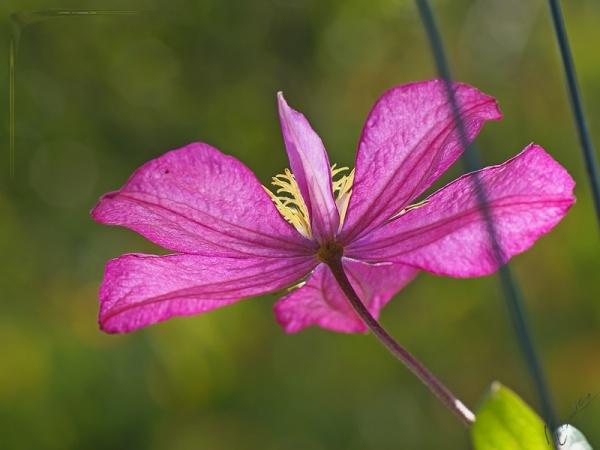 Flower fleur clématite