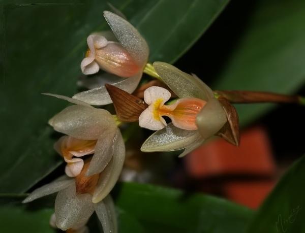 Flower fleur orchidée Pholidota