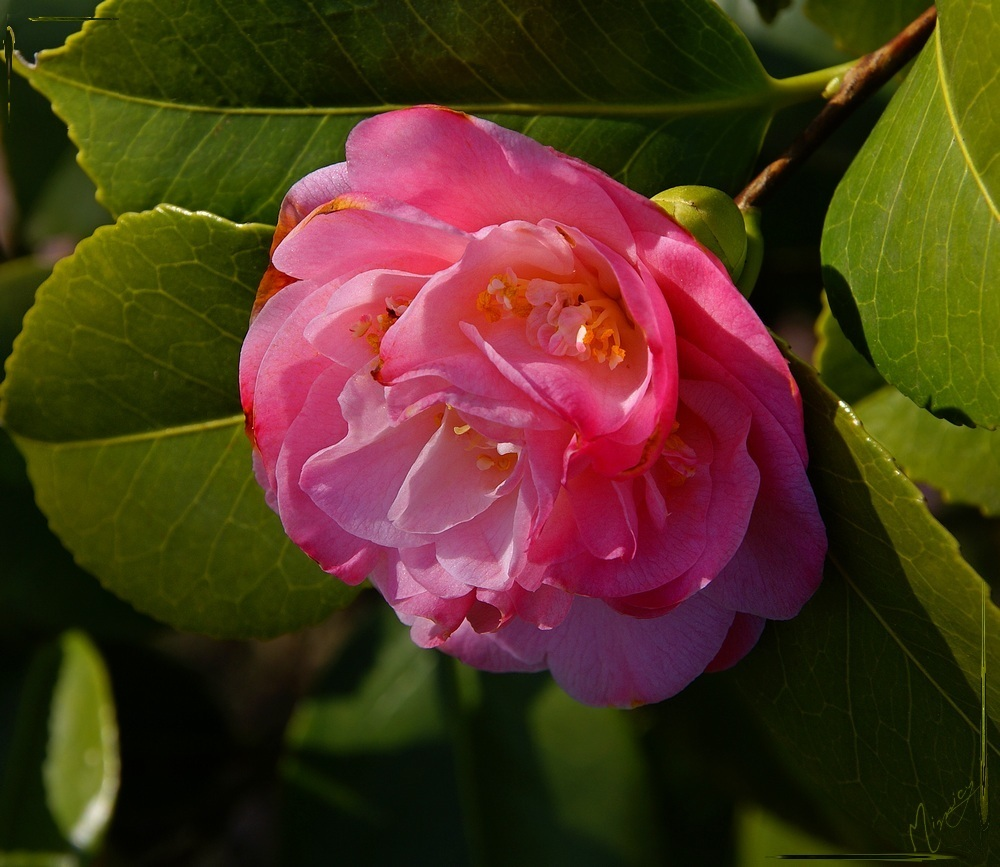 Flower fleur camélia