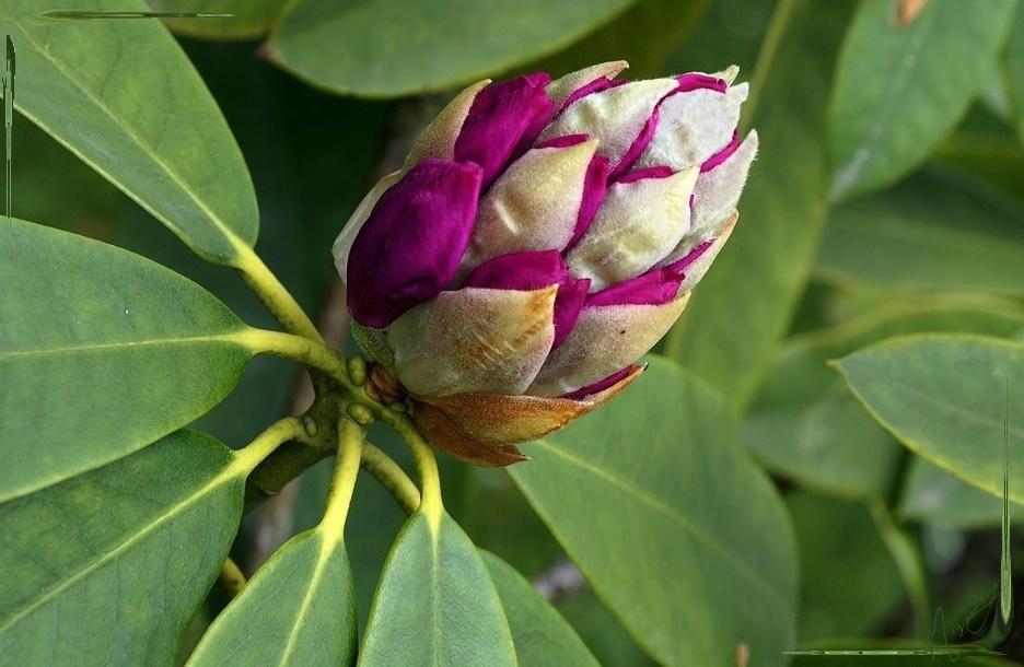 Flower fleur rhododendron