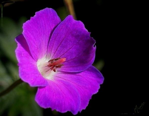 Flower fleur jardin géranium vivace