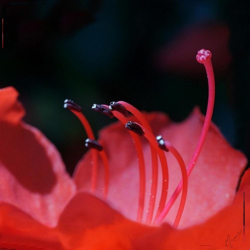 Flower fleur jardin azalée
