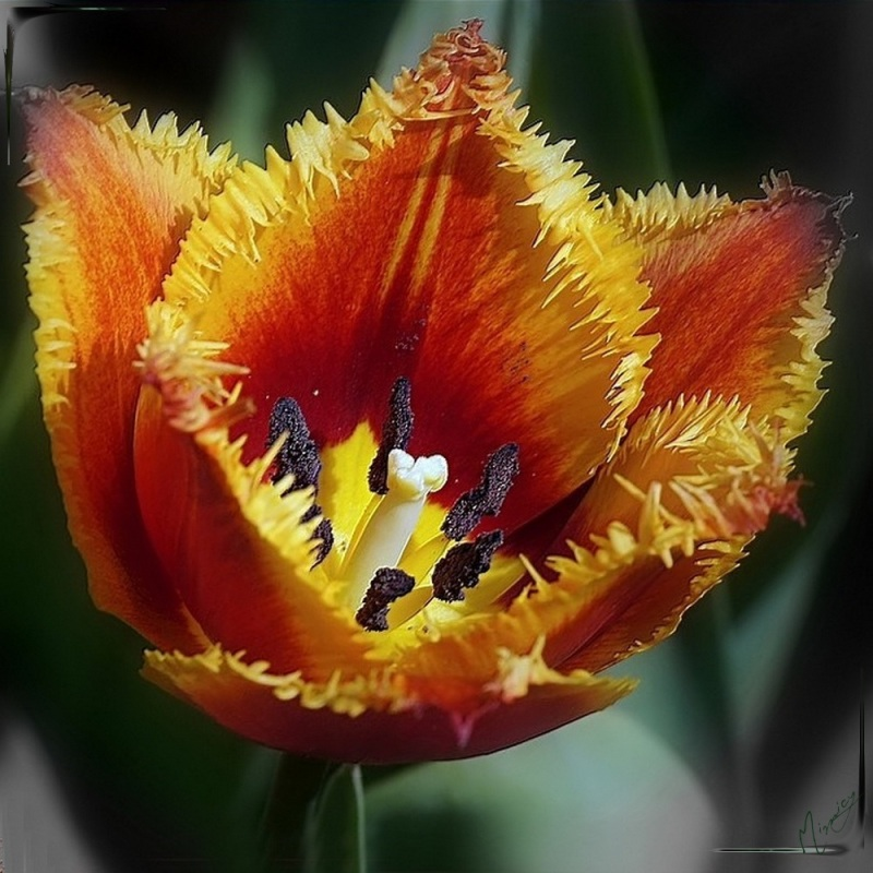 Flower fleur jardin tulipe