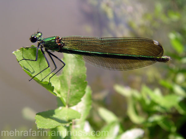 Nice Male Damselfly