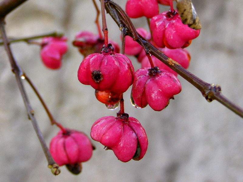 fruits of the euonymus or spindle tree
