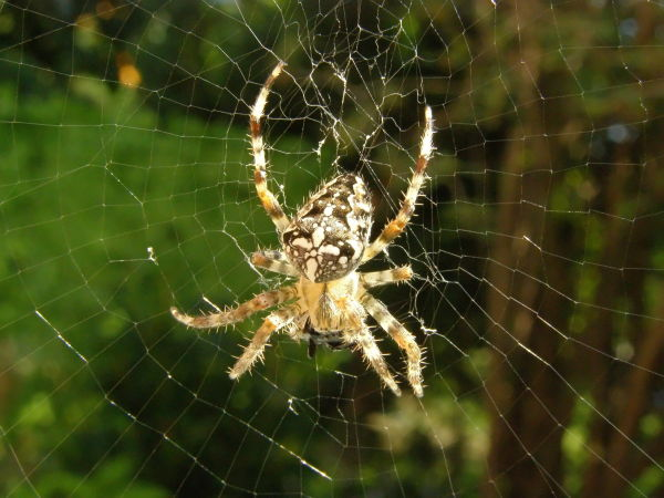 european garden spider in its net