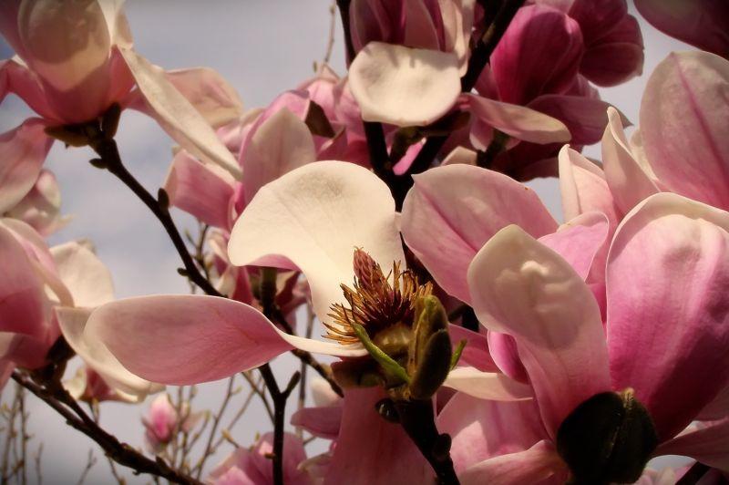 magnolia flowers fading