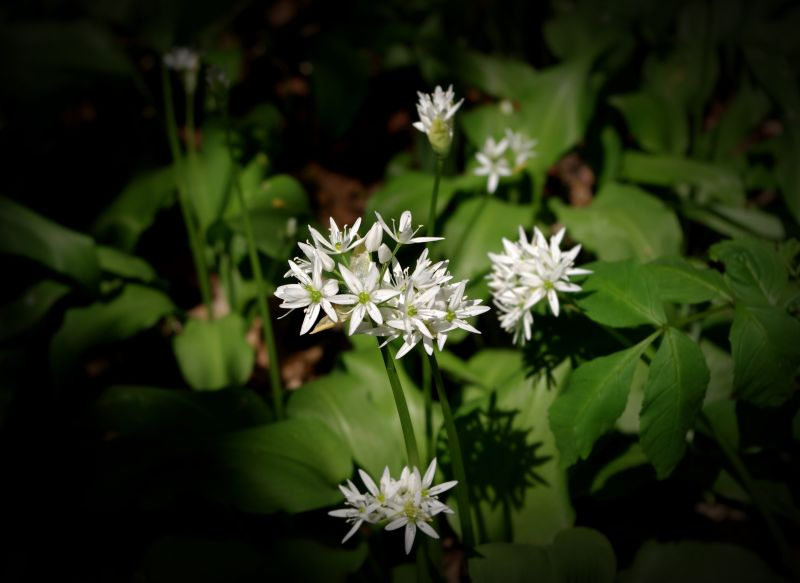 the stinking rose wild garlic flower