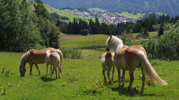 haflinger horses above serfaus, tirol