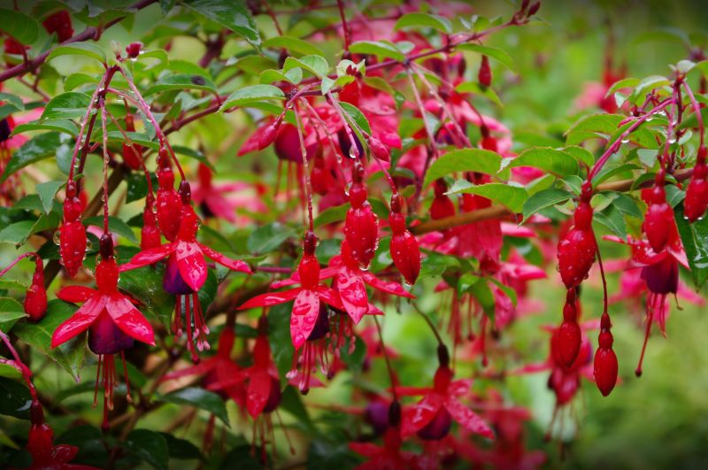 fuchsias after the rain, lost gardens of heligan