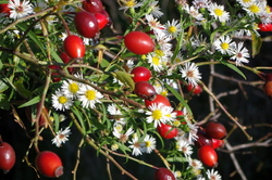 autumn colours - rose hips and false asters