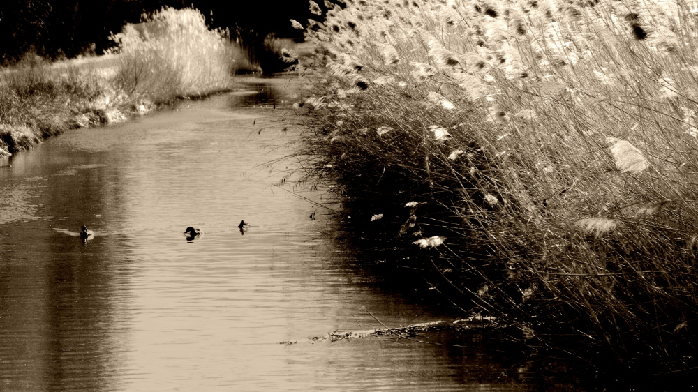 ducks and reeds, chalky filter