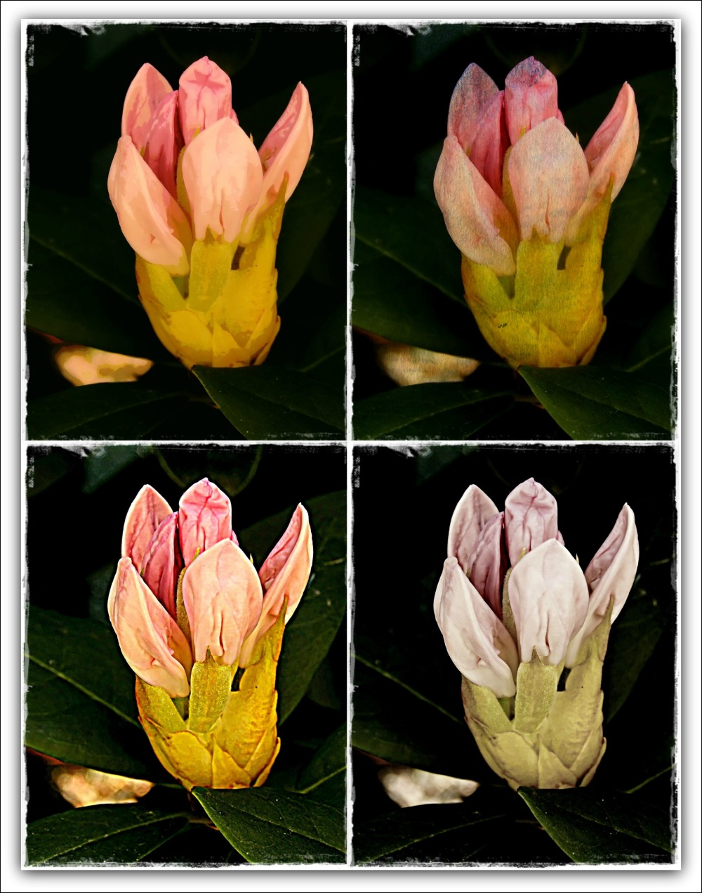 rhododendron bud with various filters