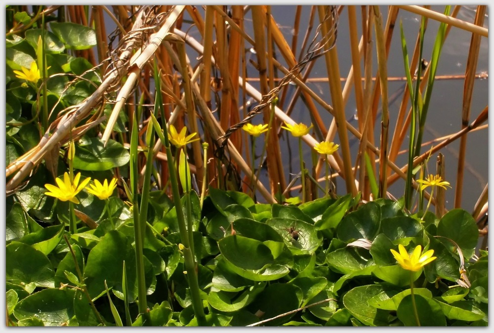 canal project 17 - spring, marsh marigold
