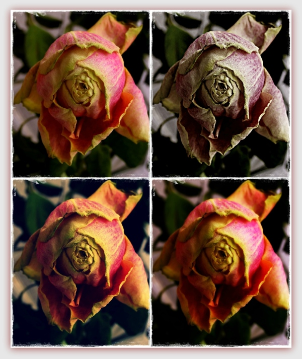 four faces of a wilted rose