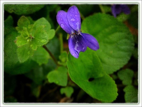 spring, violet, rain drops