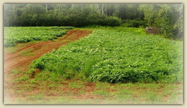 canada, PEI, fields, potatoes