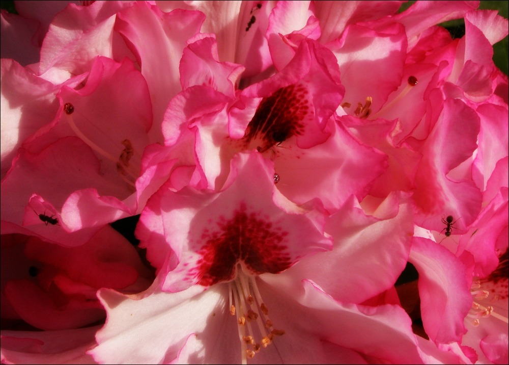 spring, pink rhododendron, ants