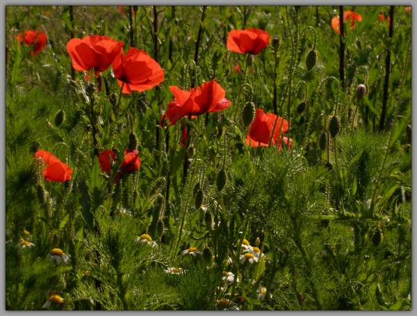 spring, red poppies, white daisies, meadow