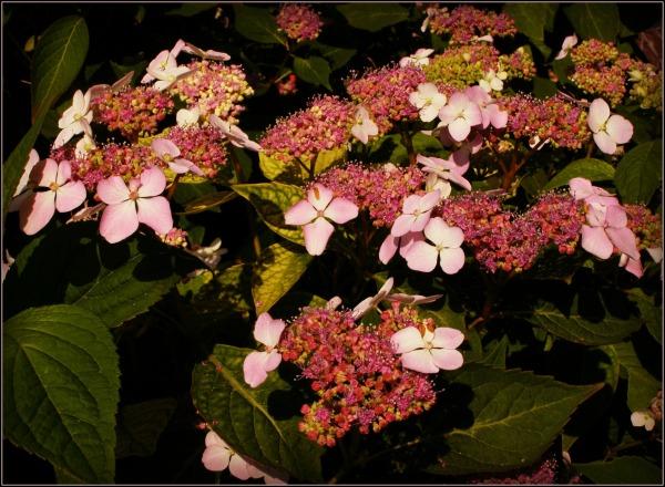 summer, garden, hydrangea, urbane filter