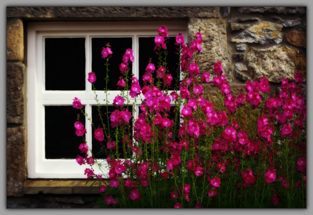scotland, dufftown, glenfiddich window, hollyhocks