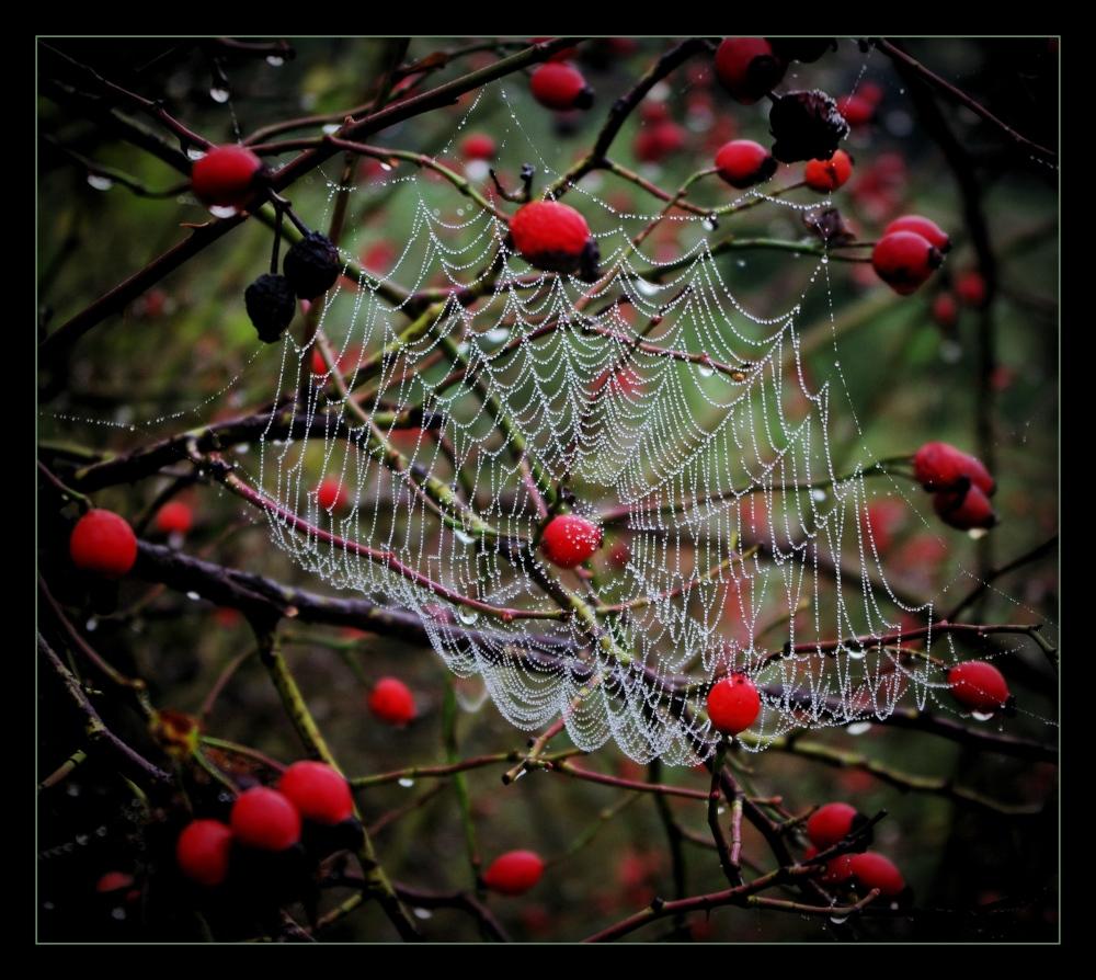 autumn, rose hips, spider's web, raindrops