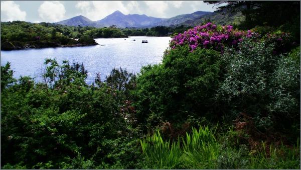 ireland, bantry bay, garinish island, rhododendron