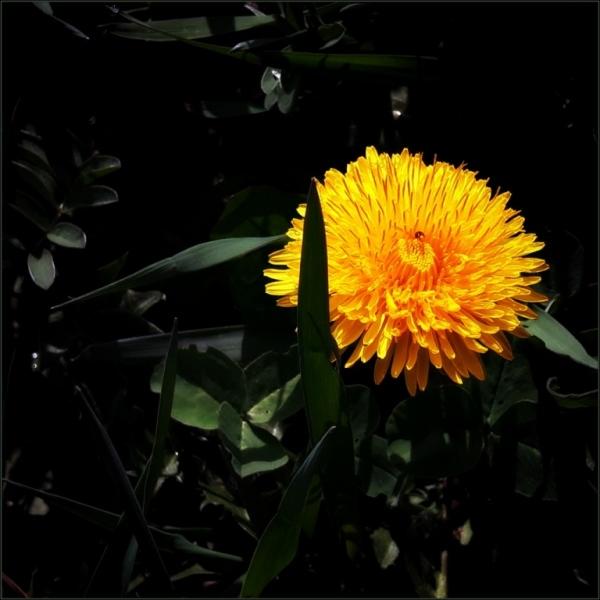 dandelion flower, ladybird