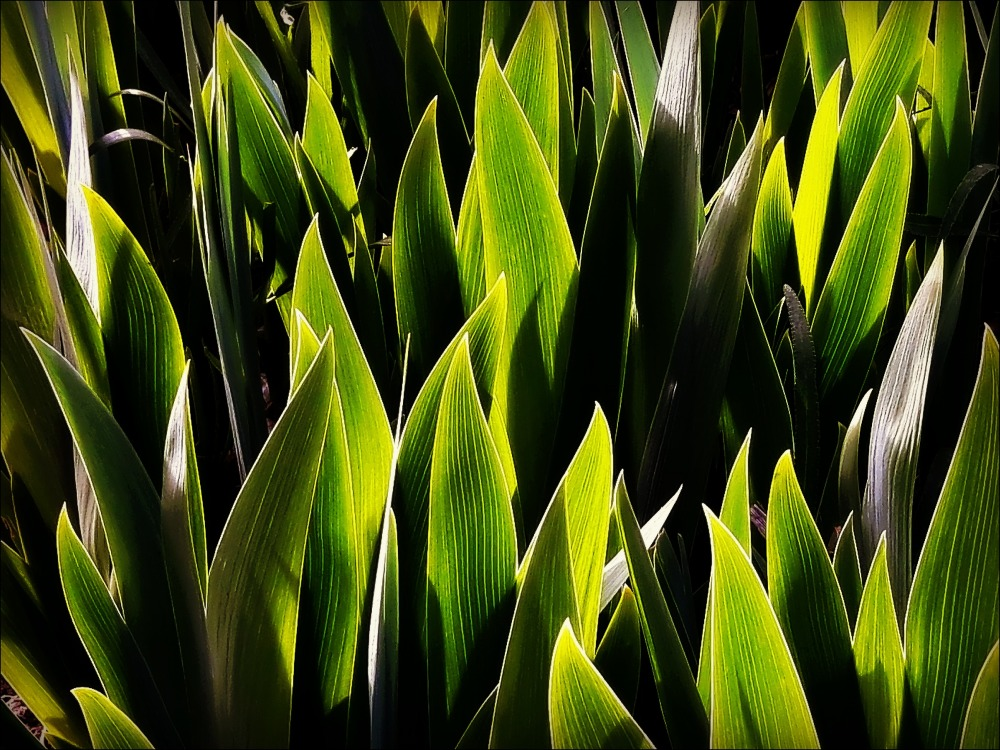 spring, iris leaves, backlight