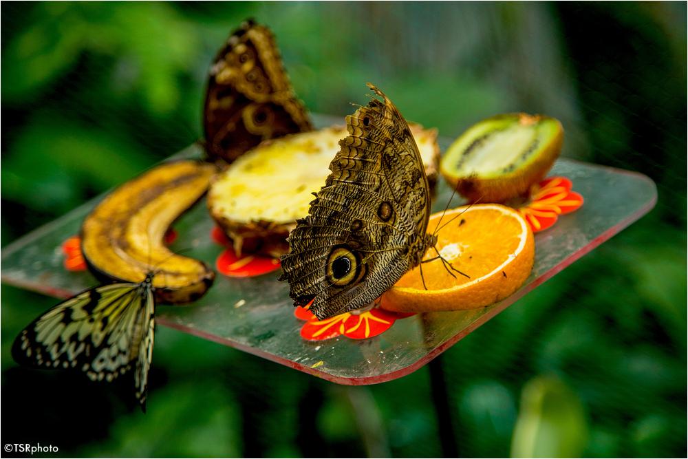 Feast of butterflies