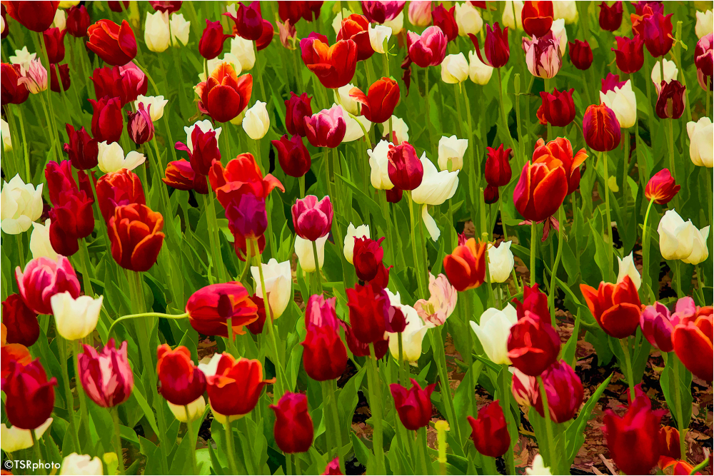 Tulips meadow