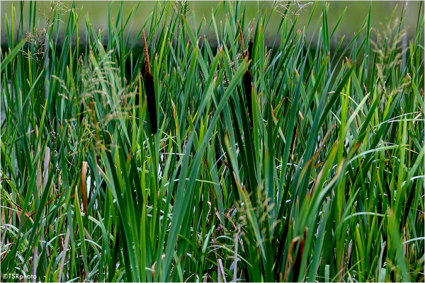 What sounds in reeds ?