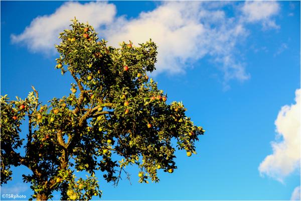 Heavenly apples