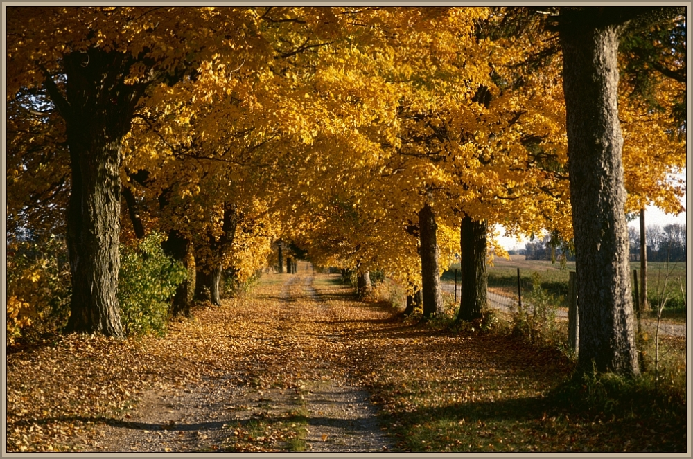Avenue of trees with beautiful fall colors